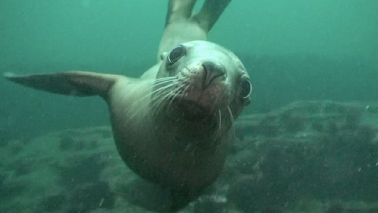 Curious seal on BC's west coast